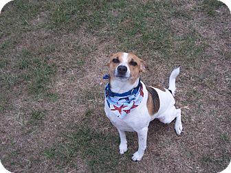 Parson Russell Terrier/Beagle Mix Dog for adoption in Tampa, Florida - Griffin