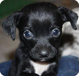 Chihuahua/Labrador Retriever Mix Puppy for adoption in Encino, California - Oregano - Sugar Pup