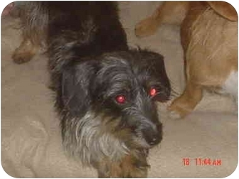 Dachshund Mix Dog for adoption in Eaton, Indiana - Tillie