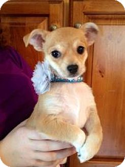 Chihuahua Mix Puppy for adoption in Lowell, Massachusetts - Annie