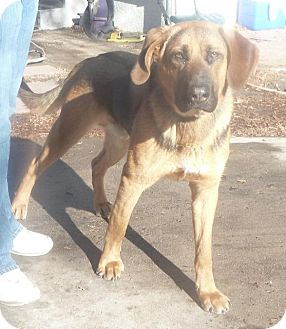 German Shepherd Dog/Hound (Unknown Type) Mix Dog for adoption in Colorado Springs, Colorado - Duke