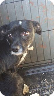 Pug/Yorkie, Yorkshire Terrier Mix Puppy for adoption in Ogden, Utah - Shylee