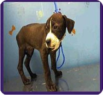 American Staffordshire Terrier/Pit Bull Terrier Mix Puppy for adoption in Englewood, Colorado - RACEY RAY