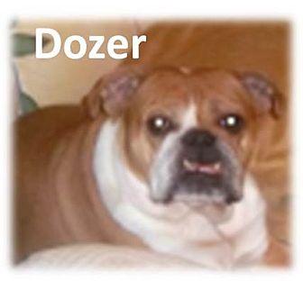 English Bulldog Dog for adoption in Decatur, Illinois - Dozer