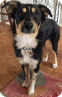Border Collie Mix Dog for adoption in Allen, Texas - Jax