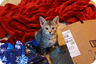Domestic Shorthair Kitten for adoption in Homewood, Alabama - Athena