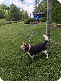 Beagle Mix Dog for adoption in Hagerstown, Maryland - Finnegan (POM-BS)
