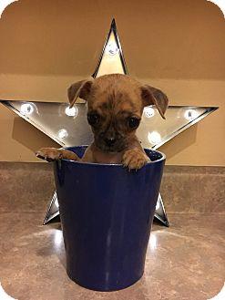Chihuahua Mix Puppy for adoption in Mesa, Arizona - Shrimp