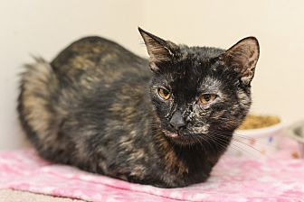 Domestic Shorthair Cat for adoption in Whitehall, Pennsylvania - Vivian