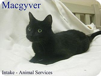 Domestic Shorthair Cat for adoption in Hamilton, Ontario - Macgyver