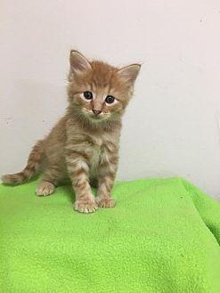 Domestic Shorthair Cat for adoption in Baton Rouge, Louisiana - Nemo
