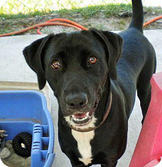 Labrador Retriever Mix Dog for adoption in Umatilla, Florida - Angel