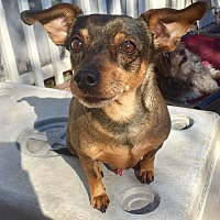 Dachshund/Manchester Terrier Mix Dog for adoption in Santa Ana, California - Tommy
