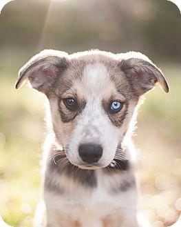 Husky/Blue Heeler Mix Puppy for adoption in Austin, Texas - Bandit