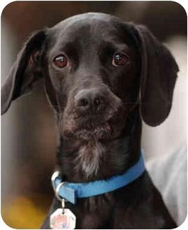 Retriever (Unknown Type)/Beagle Mix Dog for adoption in El Segundo, California - Shadow