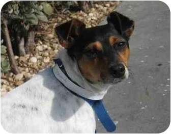 Rat Terrier Mix Dog for adoption in Homestead, Florida - Templeton