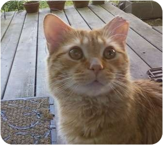Domestic Mediumhair Cat for adoption in Worcester, Massachusetts - OJ