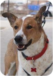 Collie Mix Dog for adoption in Rockaway, New Jersey - Barkley