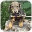 Photo 1 - Dachshund Mix Puppy for adoption in Somerset, Kentucky - Buddy