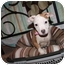 Photo 4 - American Bulldog/American Pit Bull Terrier Mix Puppy for adoption in Rowlett, Texas - Orchid
