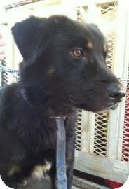 Australian Shepherd Mix Dog for adoption in Gainesville, Florida - Chuck