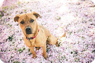 Shepherd (Unknown Type) Mix Dog for adoption in Clarksburg, Maryland - Simba