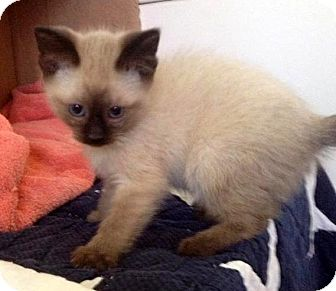 Siamese Kitten for adoption in Troy, Michigan - Tuiasosopo