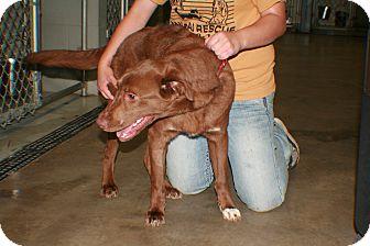 Labrador Retriever Dog for adoption in Hibbing, Minnesota - Mr Chester