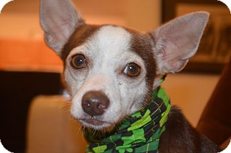 Rat Terrier/Chihuahua Mix Dog for adoption in Weeki Wachee, Florida - Liam