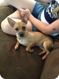 Chihuahua Puppy for adoption in Chicago, Illinois - ARIEL