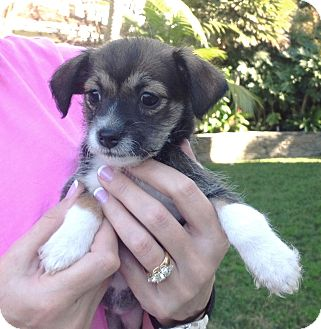 Jack Russell Terrier/Beagle Mix Puppy for adoption in Santa Ana, California - Rosebud
