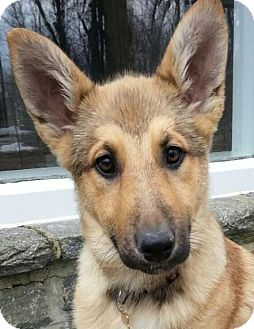 German Shepherd Dog/Collie Mix Puppy for adoption in Baltimore, Maryland - Zola