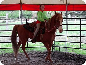 Tennessee Walking Horse for adoption in Aumsville, Oregon - Tigger
