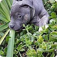 Adopt A Pet :: Herbert - Santa Barbara, CA