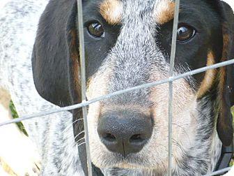 Bluetick Coonhound Puppy for adoption in Beacon, New York - Evie