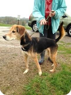 Greyhound/Hound (Unknown Type) Mix Dog for adoption in Zanesville, Ohio - # 134-14  RESCUED!