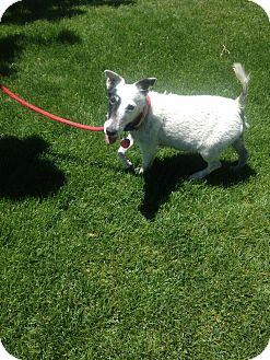 Fox Terrier (Wirehaired) Dog for adoption in Gardnerville, Nevada - Oreo