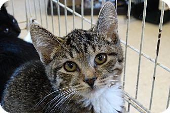 Domestic Shorthair Kitten for adoption in Elyria, Ohio - Tank