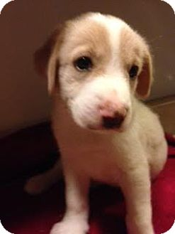 Australian Shepherd Mix Puppy for adoption in waterbury, Connecticut - Brooke
