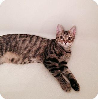 Domestic Shorthair Kitten for adoption in Chattanooga, Tennessee - Serena Sunspot