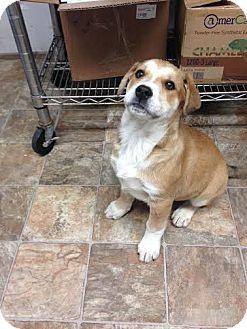 Labrador Retriever/German Shepherd Dog Mix Puppy for adoption in Darlington, South Carolina - Graceann