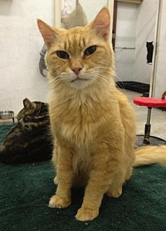 Domestic Shorthair Cat for adoption in St. James City, Florida - Blondie