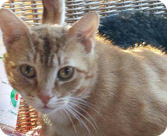 Domestic Shorthair Cat for adoption in Shelbyville, Kentucky - Berkley