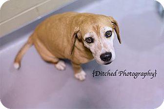 Beagle Mix Dog for adoption in Columbus, Georgia - Hannah 5f3e