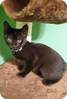 Domestic Shorthair Kitten for adoption in Huntsville, Alabama - Bop