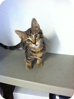 Domestic Shorthair Kitten for adoption in Darlington, South Carolina - Duncan