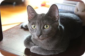 Domestic Shorthair Kitten for adoption in Pottstown, Pennsylvania - Shadow