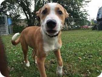 American Staffordshire Terrier Mix Puppy for adoption in Monroe, Michigan - Emmet