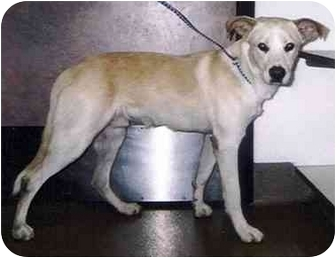 Labrador Retriever Mix Dog for adoption in El Segundo, California - Parrot