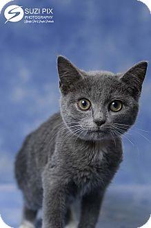 Domestic Shorthair Kitten for adoption in Cincinnati, Ohio - Nilla